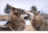 funny wolves
