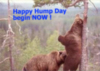 hump day, funny bears